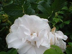 des-leaf-2